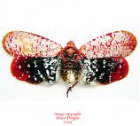 Aphaena submaculata (Thailand)
