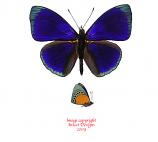 Asterope buckleyi (Peru)