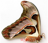 Attacus lorquini (Philippines)