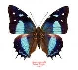 Baeotus amazonicus (Peru)