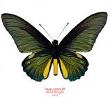 Battus lycidas (Peru)