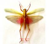 Chondacris rosea (Java)