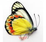 Delias fasciata (Sumba)