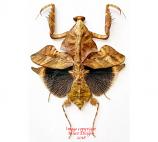 Deroplatys lobata (Malaysia)