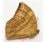 Discophora dodong (Philippines) - female