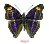 Doxocopa pavon (Peru)
