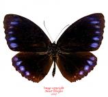 Elymnias beza (Philippines)