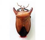 Eurypleura bicornis (Thailand)