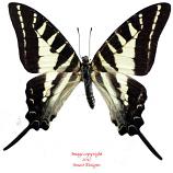 Graphium aristeus (Ceram)