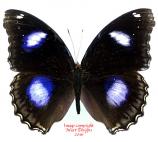 Hypolimnas bolina (Madagascar) A-