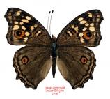 Junonia lemonias janome (Philippines) A-