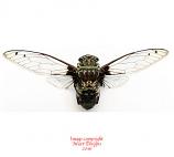 Macrotristia chantranei (Thailand) A2