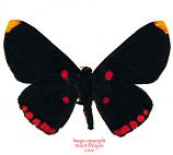 Melanis pixe (Peru)