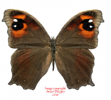 Melanitis leda (Madagascar) A2