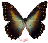 Morpho telemachus penelope (Peru)