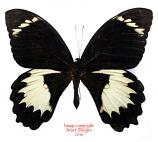 Papilio aegeus (PNG)