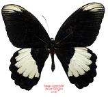 Papilio ambrax (Arfak)