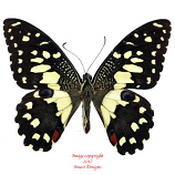 Papilio demoleus (Sulawesi) A2