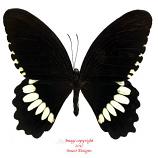 Papilio polytes (Ceram)