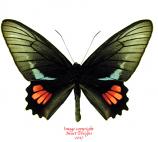 Parides lysander brissonius (Peru) A-