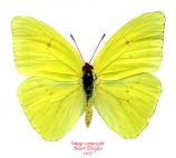 Phoebis sennae (Peru)