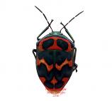 Poecilocoris splendidulus (Korea)