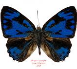 Poritia erycinoides (Java)