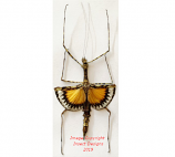 Pseudodiacantha macklotti (Java)