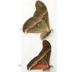 Samia sp. (Thailand) - pair