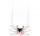 Whip spider (Java)
