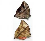 Zeuxidia amethystus amethystine (Philippines) - pairs