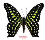 Graphium agamemnon (Philippines) A1 and A2