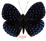 Hamadryas velutina (Peru) A-
