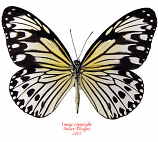 Ideopsis gaura anapina (Philippines) A1 and A-