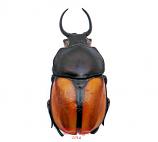 Fruhstorferia nigromuelleri (Malaysia)