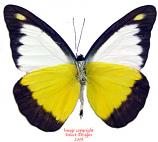 Appias lyncida vasana (Thailand) A2