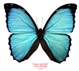 Morpho menelaus (Peru)