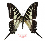 Graphium aristeus aristeus (Indonesian Islands) A-