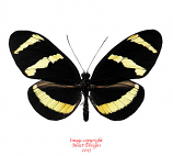 Heliconius hewitsoni (Costa Rica)