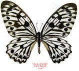 Arisbe idaeoides idaeoides (Philippines)