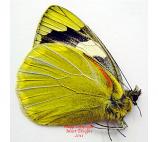 Delias levicki borromeoi (Philippines) A-