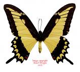 Papilio lycophron (Peru) A-