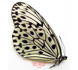 Idea hypermnestra ssp. (Kalimantan)