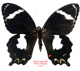 Papilio amynthor amynthor (New Caledonia) A-