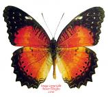 Cethosia biblis insularis (Philippines) A-