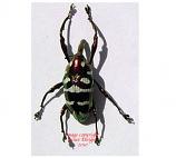 Alcidodes aeratus - red (Philippines)