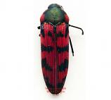 Acmaeodera sp. (Madagascar) A2