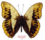 Cymothoe herminia (RCA)