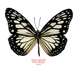 Ideopsis juventa manillana (Philippines) A2