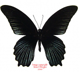 Papilio memnon agenor (Thailand) A1 and A-